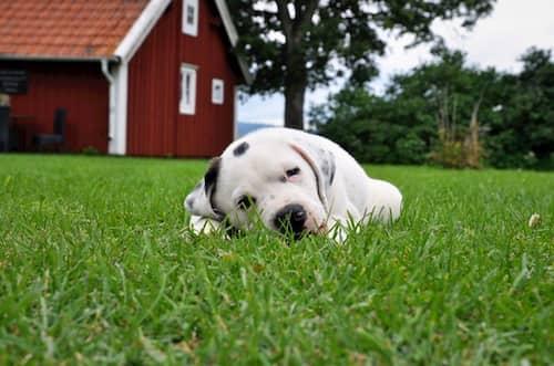 Cachorro de Pitbull tumbado en el césped