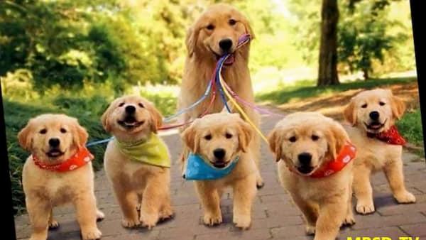 cachorros golden retriever contentos paseando