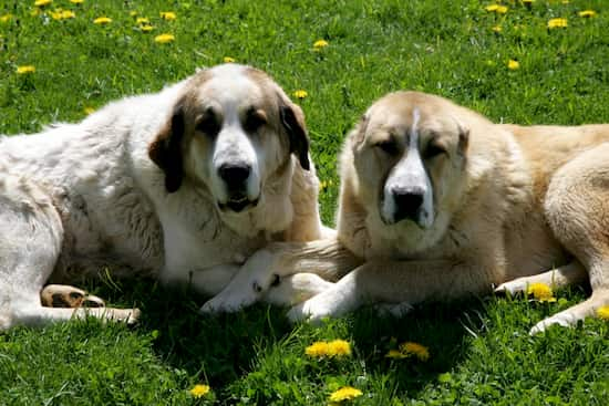 dos perros guardianes tumbados en el campo