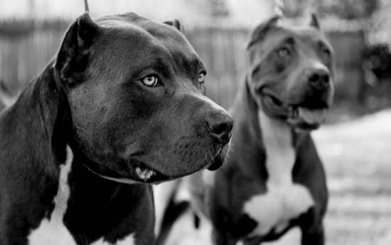 dos perros pitbull negros y blancos
