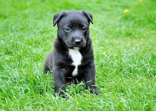 nombres para perros pit bull negros