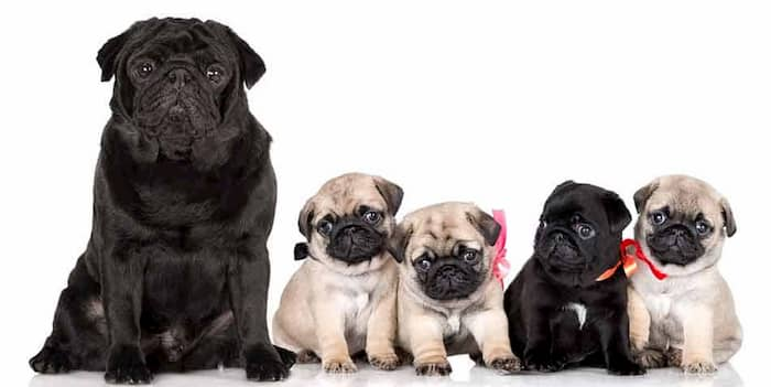 4 cachorros hembras pug y su madre
