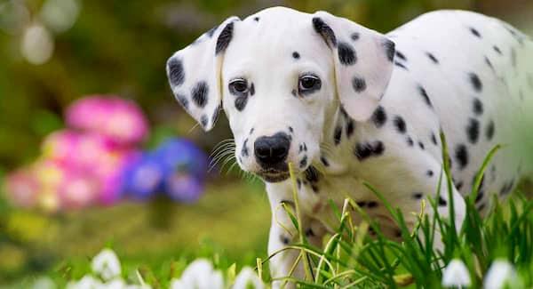 cachorro de dálmata con 3 meses