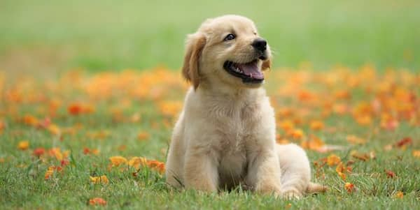 cachorro hembra golden retriever