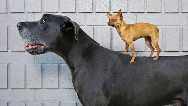 macho negro grande con un perro pequeño encima