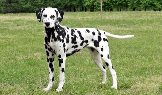 nombres para perros dálmatas
