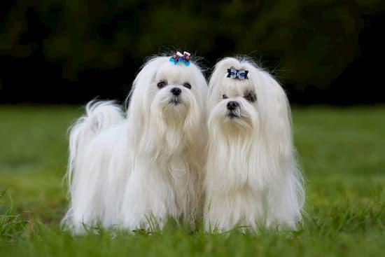 preciosas hembras bichón maltés de pelo blanco